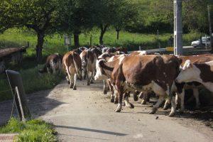 troupeau au col de cochette